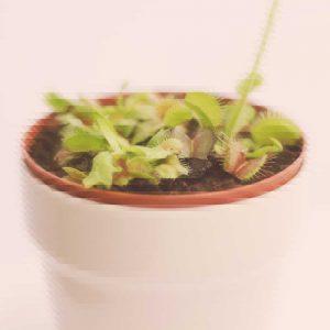 prisma-planta-carnivora